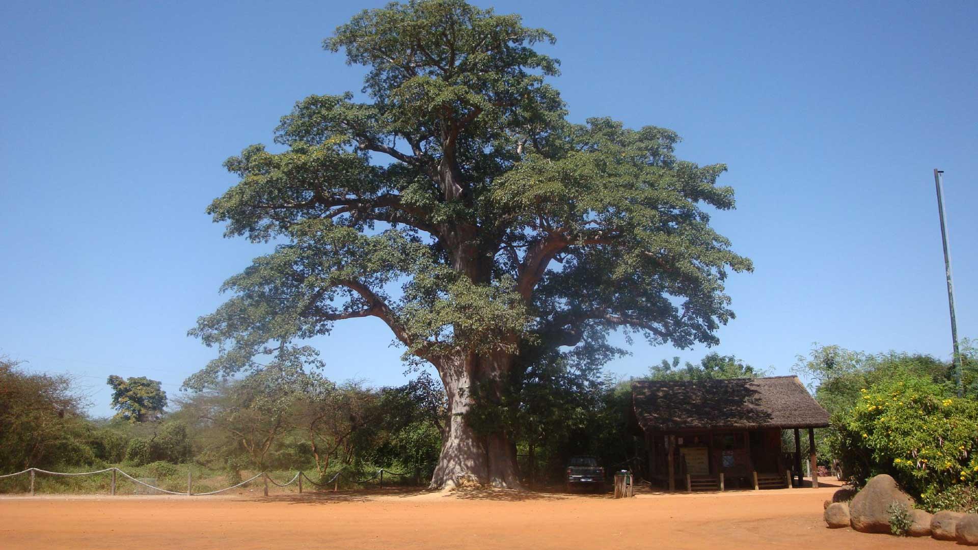 A la rencontre de tous les grands mammifères d'Afrique dans 3'500 ha de nature grandiose : baobabs géants, buissons épineux, lianes capricieuses.