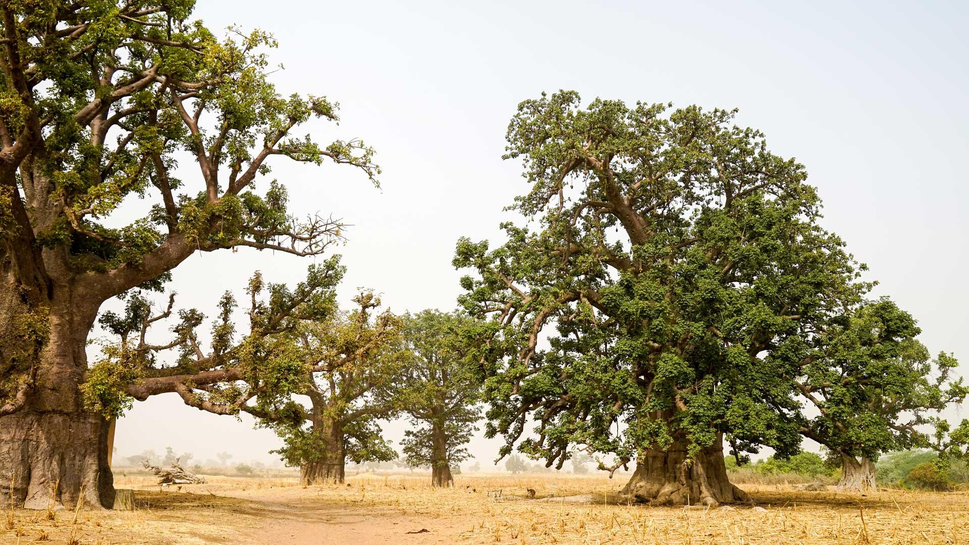 3'500 ha de nature grandiose: pyramides sérères avec chambre mortuaire reconstituée, tombeau de griots au creux d'un baobab millénaire contenant d'authentiques ossements humains, meule de charbonnier et cases peuls.